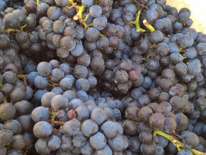 Rubin Borászat - szüret - borszőlő